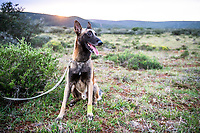 Belguim Melanois Counter-Poaching Dog, Shamwari Private Game Reserve, Eastern Cape, South Africa