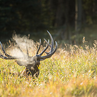 bugeling bull elk in grass backlit steam rising from mouth