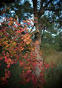 Autumn leaves line Forest Service Road 785 in Gardner Canyon, Santa Rita Mountains, Sonoran Desert, Coronado National Forest, Sonoita, Arizona, USA.
