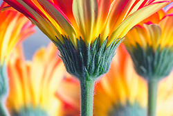 A row of multi-colored gerber daisies from the garden from a stem-up perspective.<br />