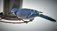 Blue Jay. Image taken with a Nikon D5 camera and 600 mm f/4 VR lens (ISO 180, 600 mm, f/4, 1/640 sec).