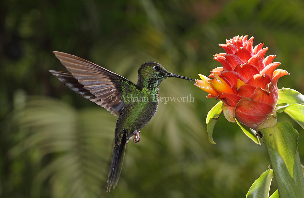 Green-crowned Brilliant(Heliodoxa jacula) at ginger flower (Costus montanus). Montane rainforest near Poas Volcano, Costa Rica. <br /> <br /> For pricing click on ADD TO CART (above). We accept payments via PayPal.