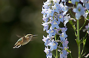 A hummingbird feeds on delphiniums in Jane and Bob Hendrix's garden at 10,000 feet in Breckenridge, Colo.