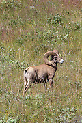 Mature Bighorn Sheep Ram in Open Habitat