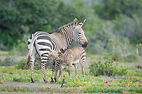 Cape Mountain Zebra mother and suckling foal, De Hoop Nature Reserve and marine protected area, Western Cape, South Africa