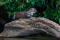 Giant otter standing on log in the peruvian Amazon jungle at Madre de Dios Peru