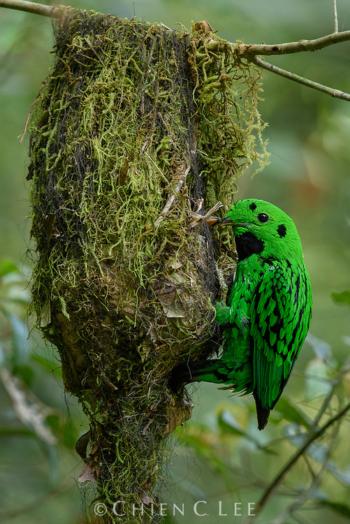 A male Whitehead's Broadbill (Calyptomena whiteheadi) returns to its nest where it passes food to the hungry chick. Both male and female care for the nestlings, providing insects and fruit, as well as removing fecal pellets. This scarcely-seen species is the largest of all the green broadbills (reaching 27cm in length) and is endemic to the montane forests of Borneo. Sabah, Malaysia.
