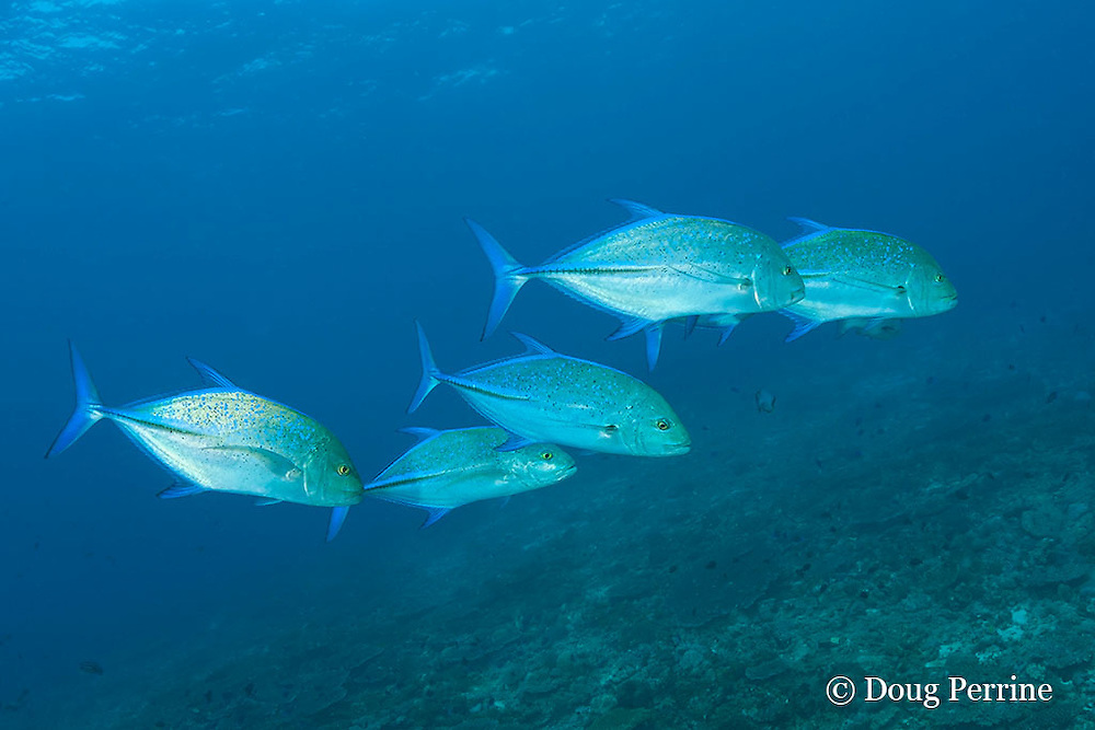 hunting party of bluefin jacks, blue-fin jack, or bluefin trevally, Caranx melampygus, Raa Atoll, Maldives ( Indian Ocean )