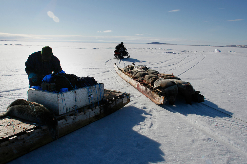 Inuit hunters on the way home after a day of hunting seals on frozen Resolute Bay, Canada, on Tuesday, June 12, 2007. The Inuit hunt seals for food, and their community uses every part of the seals, either by eating the meat or using the hides to make warm clothes. The traditional way of life in the Resolute Bay Inuit community is being threatened by rising temperatures. The dangers of global warming, which have been extensively documented by scientists, are appearing first, with rapid, drastic effects, in the Arctic regions where Inuit people make their home. Inuit communities, such as those living on Resolute Bay, have witnessed a wide variety of changes in their environment. The ice is melting sooner, depleting the seal population and leaving them unable to hunt the animals for as long. Other changes include seeing species of birds and insects (such as cockroaches and mosquitoes) which they have never encountered before. The Inuit actually lack words in their local languages to describe the creatures they have begun to see.