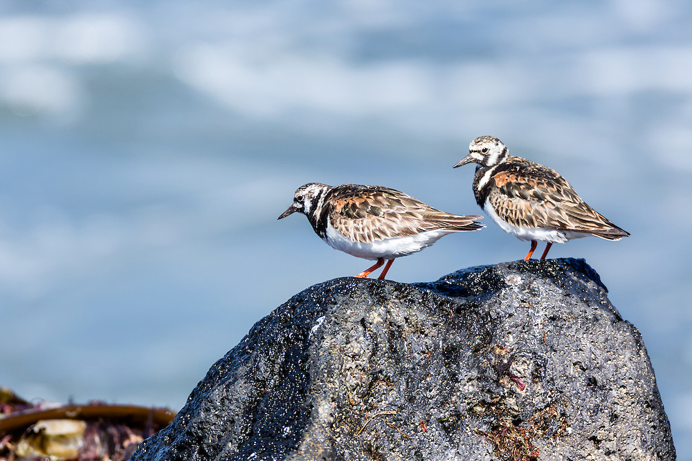 Ruddy Turnstones (Arenaria interpres) perched on boulder along Bering Sea on coast of St. Paul Island in Southwest Alaska. Summer. Afternoon.