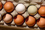 Eggs from the school's chickens will be sold at market by students  at Manzo Ecology at Manzo Elementary School, Tucson Unified School District, Tucson, Arizona, USA.