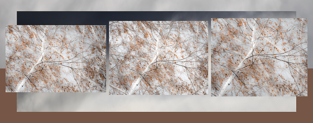 Birch Tree Triptych