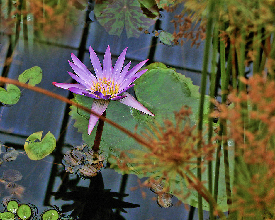 Water lilies at Mount Holyoke College and Botanical Gardens, Bronx, New York