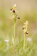Early spider orchids on the Purbeck coastal downland