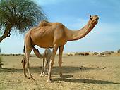 Animals - Camels