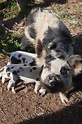 Two week old Kunekune pigs nursing with their mother, New Zealand.
