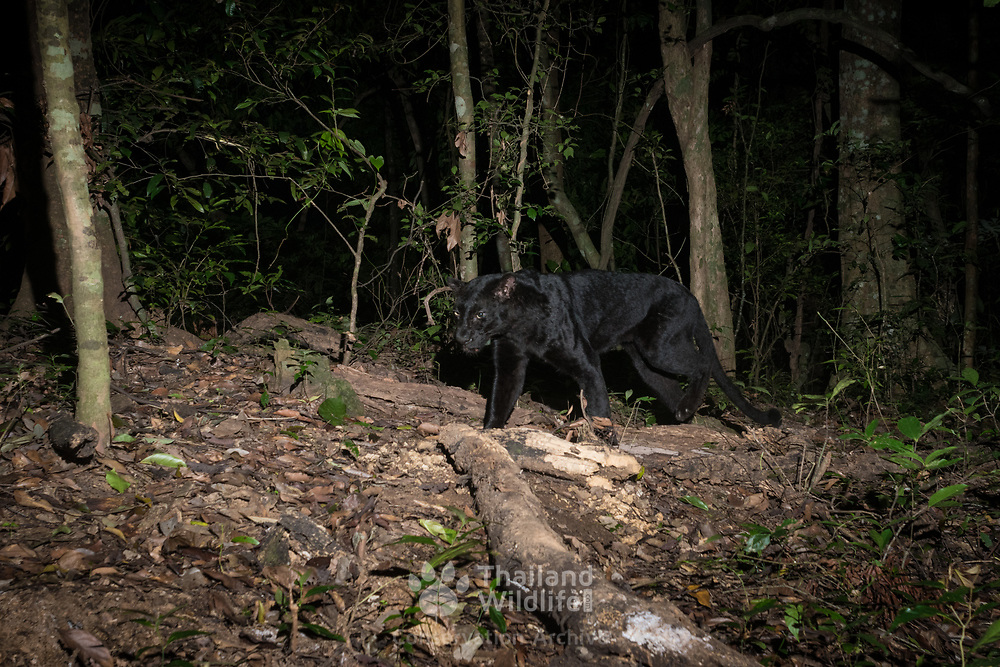 Melanistic Indochinese leopard (Panthera pardus delacouri), also known as South-Chinese leopard.