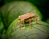 Stinkbug on a Mustard Leaf. Focus stacked composite of 50 images taken with a Fuji X-T3 camera and 80 mm f/2.8 macro lens (ISO 640, 80 mm, f/16, 1/60 sec). Raw images processed with Capture One Pro and Helicon Focus.