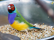 "The Gouldian Finch (or Lady Gouldian or Rainbow Finch) is native to tropical Northern Australia and has green or blue back; red, black or orange head; and white or lavender breast. The photo is from Bloedel Conservatory, in Queen Elizabeth Park, 4600 Cambie St, Vancouver, British Columbia, Canada. Bloedel Conservatory is a domed lush paradise where you can experience the colors and scents of the tropics year-round, atop the City of Vancouver's highest point, Little Mountain (501 feet). In Bloedel Conservatory, more than 200 free-flying exotic birds, 500 exotic plants and flowers thrive within a temperature-controlled environment. A donation from Prentice Bloedel built the domed structure, which was dedicated in 1969 ""to a better appreciation and understanding of the world of plants,"" and is jointly operated by Vancouver Park Board and VanDusen Botanical Garden Association. A former rock quarry has been converted into beautiful Queen Elizabeth Park with flower gardens, public art, grassy knolls."