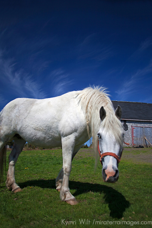 Canada, Nova Scotia, Guysborough County. White Horse and Barn of Nova Scotia.