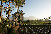 Indonesie. Lombok. Champs de tabac avec le volcan Rinjani en fond. // Indonesia. Lombok. Tobacco field and Rinjani volcano at the back.