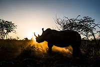 A white rhino bull stands silhouetted at sunset. We are at a crucial point in ensuring the long-term survival of rhino and many other species and a global effort must be undertaken at many different levels to halt wildlife crime.