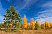 Eastern larch / tamarack (Larix laricina) in autumn color<br />