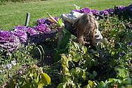 Harvesting carrots at Spring Creek Farm's farm school in September 2009.