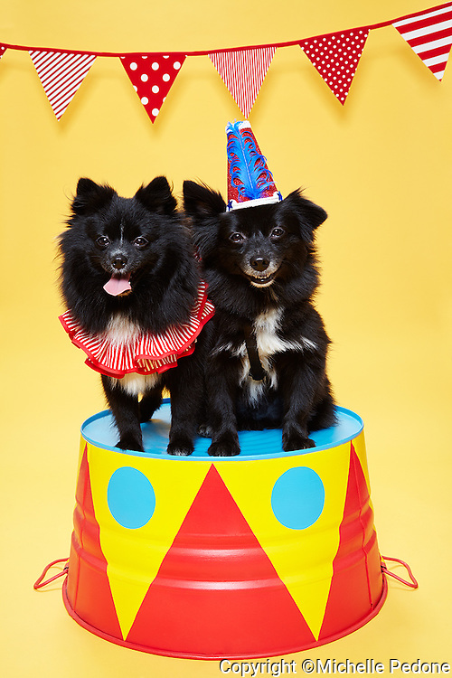 2 black and white Pomeranians sitting on circus pedestal wearing circus collar and hat smiling towards camera on yellow background. Photographed at Photoville Photo Booth September 20, 2015