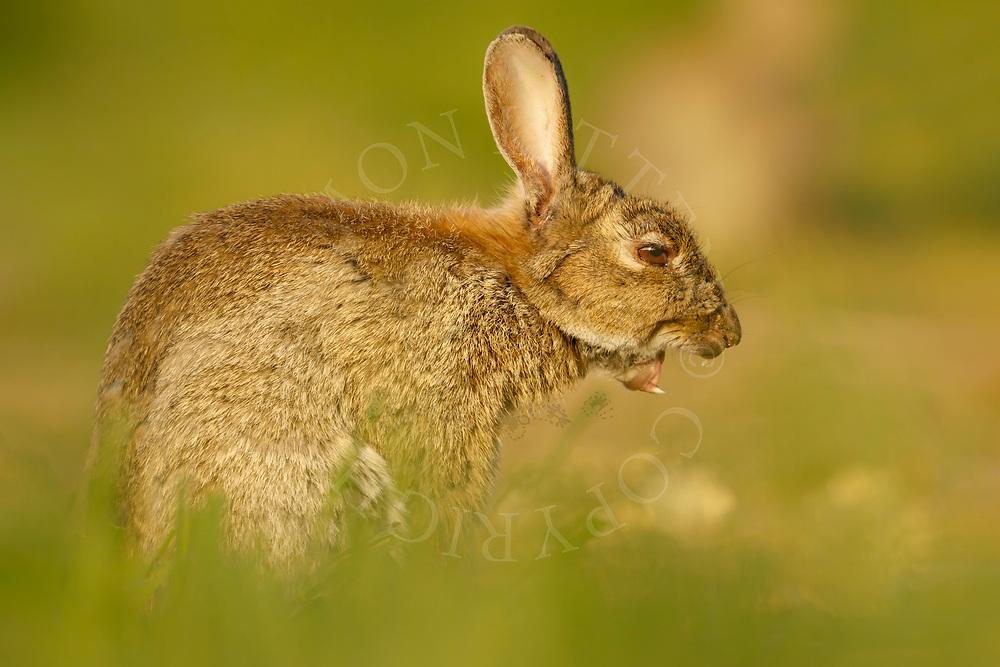 European Rabbit (Oryctolagus cuniculus)  adult yawning, South Norfolk, England, May.