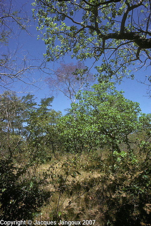 Open woodland (wooded savanna) vegetation called in Brazil Cerrado or Cerradao in semi-humid climate with marked dry season in Piaui State, Brazil.