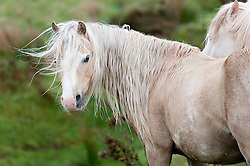 © London News Pictures. 02/06/2015. Mynydd Epynt, Powys, Wales, UK. Welsh ponies huddle together in the near gale force winds today on the Mynydd Epynt moorland between Builth Wells and Brecon. Photo credit : Graham M. Lawrence/LNP.