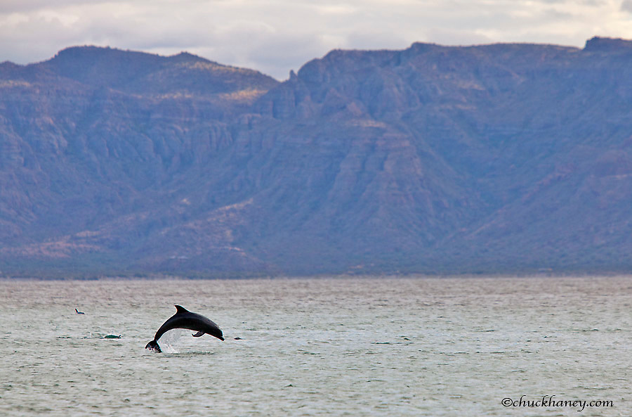 Bottlenose dolphins in the Gulf of California near Loreto Mexico