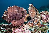 Common reef octopus, Sipadan, Sabah, Malaysia.