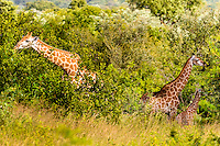 Giraffe at sunrise in Kruger National Park, the largest game reserve in South Africa.