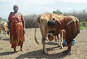 Africa, Tanzania, Lake Eyasi, Hadza woman milk a cow