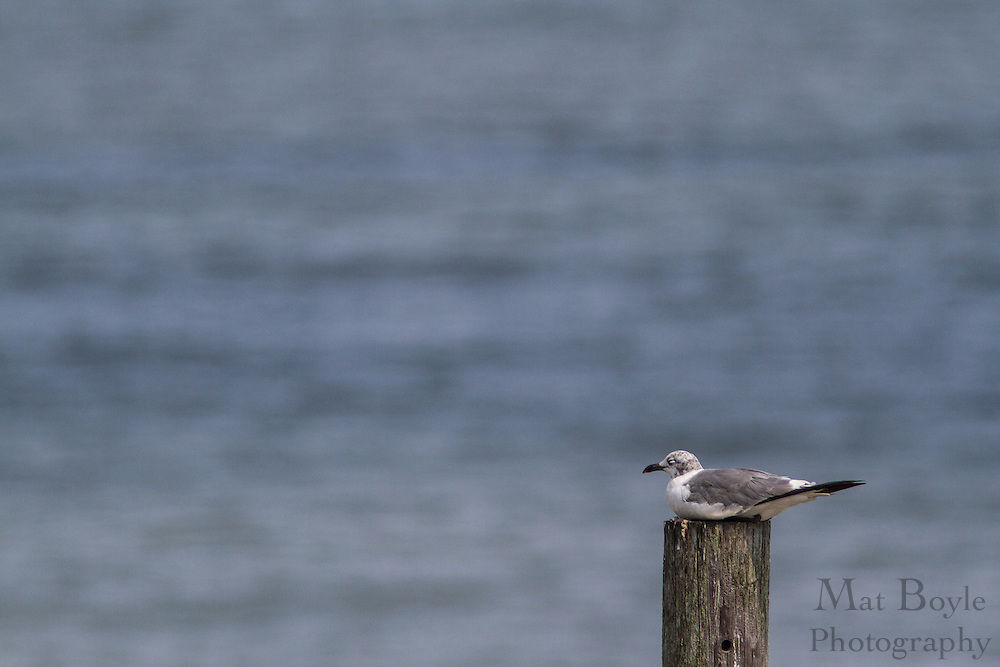 A seagull sits on a piling in front of the Atlantic Ocean in Ocean City, NJ on August 18, 2012. (photo / Mat Boyle)
