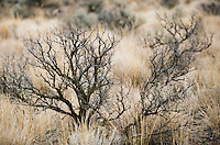 A close-up view of a sagebrush plant in Eastern Washington State, USA