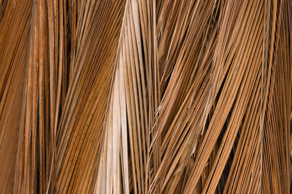 Dried coconut palm tree fronds; Kapuaiwa Royal Coconut Grove, Kaunakakai, Molokai, Hawaii.