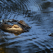 Florida alligator, A. mississippiensis, in the Everglades. The alligator is a crocodilian in the genus Alligator of the family Alligatoridae. <br />