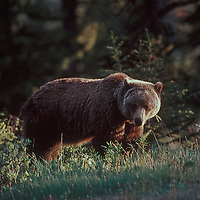 Grizzly bear. Banff national Park, Canada.