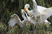 Great Egret<br /> Ardea alba <br /> Adult feeding four-week-old chicks<br /> Sonoma County, California