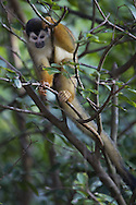 Central American Squirrel Monkey (Saimiri oerstedii), Osa Peninsula, Costa Rica