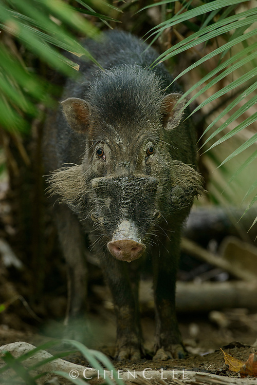The endemic Sulawesi Warty Pig (Sus celebensis) occurs in a variety of habitats ranging from lowland to montane rainforest. Although its only natural predator is the Reticulated Python (Python reticulatus), its populations across the island have been in decline due to habitat loss.