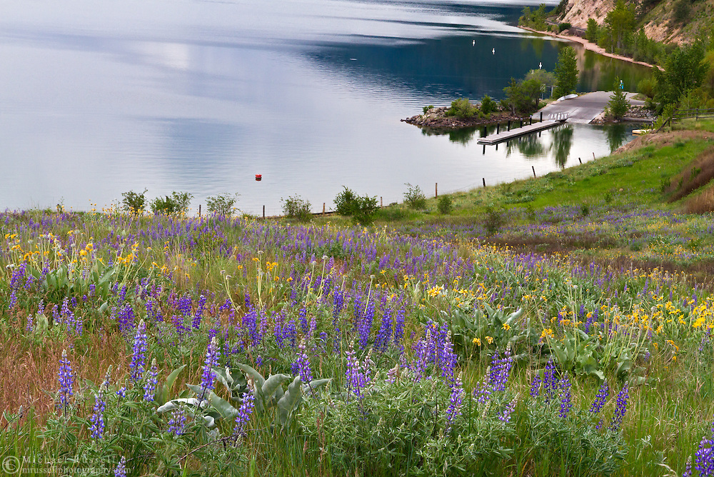 Lupines and Arrowleaf Balsamroot flowers in Kekuli Bay Provincial Park on Kalamalka Lake near Vernon, British Columbia, Canada