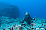 Hawaiian monk seal, Monachus schauinslandi, Critically Endangered endemic species, male, Lehua Rock, off Niihau, Hawaii ( Central Pacific Ocean )