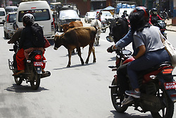 May 5, 2018 - Lalitpur, Nepal - Cows wander the streets in Lalitpur, Nepal on Saturday, May 05, 2018. (Credit Image: © Skanda Gautam via ZUMA Wire)
