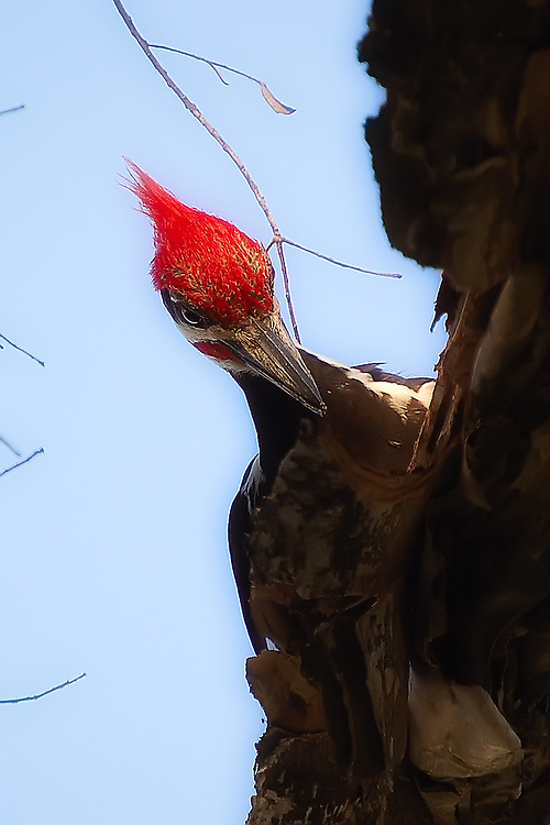 Male pileated woodpecker concentrating on finding insects under the bark of the melaleuca tree in Lee County, Florida.