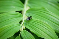Sawfly - Phymatocera aterrima - on the foliage of Solomon's seal - Polygonatum × hybridum