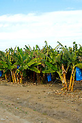 Israel, upper Galilee, Kibbutz Ginosar, on the shores of the sea of Galilee, founded 1937, Banana plantation, the blue plastic bags are used to protect the fruit from frost